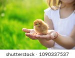 The Child Holds A Chicken In...