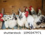 chickens in the coop. hen in a... | Shutterstock . vector #1090347971