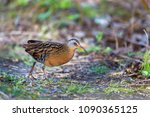 virginia rail searching for... | Shutterstock . vector #1090365125
