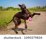 Small photo of A funny and gawky great Dane puppy leaps in a gangly, funny way for a ball tossed to it