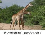 african giraffe fighting with... | Shutterstock . vector #1090397057