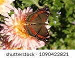 Garden Commodore Butterfly