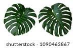 monstera plant leaves  the... | Shutterstock . vector #1090463867