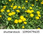 common dandelion  taraxacum...