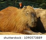 capybara in the wild and lake... | Shutterstock . vector #1090573889