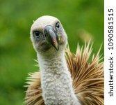 Portrait Of A R Ppell's Vultur...