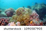 Clown Anemonefish In Actinia O...