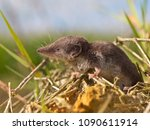 The Locally Endangered Bicolored Shrew (Crocidura leucodon) in it