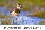Female Northern Lapwing ...
