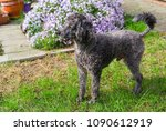 portrait of black poodle on... | Shutterstock . vector #1090612919
