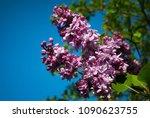 lilac. lilacs  syringa or...   Shutterstock . vector #1090623755