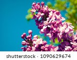 lilac. lilacs  syringa or... | Shutterstock . vector #1090629674
