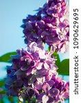 lilac. lilacs  syringa or...   Shutterstock . vector #1090629695