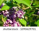 lilac. lilacs  syringa or...   Shutterstock . vector #1090629701