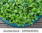 Small photo of Container grown mix salad green. Grow green salad in pots.