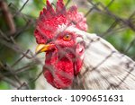 white cock with a red crest | Shutterstock . vector #1090651631