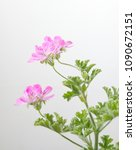 geranium fragrance with pink... | Shutterstock . vector #1090672151