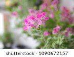 geranium fragrance with pink... | Shutterstock . vector #1090672157