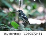 ashy thrush  geokichla cinerea  ... | Shutterstock . vector #1090672451