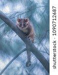 Wild Common Ringtail Possum ...