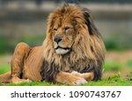 Beautiful Male Lion Portrait - Fine Art prints