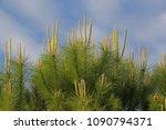 mediterranean pine tree shoots... | Shutterstock . vector #1090794371