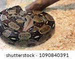 big snake in the terrarium | Shutterstock . vector #1090840391
