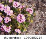 Small photo of Androsace sarmentosa - rock jasmine