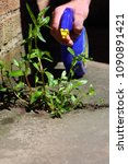 Small photo of Man spraying weed killer onto a weed growing between slabs on a path