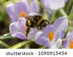 Bumblebee In Crocus. Spring ...