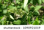 white lilac. white lilac...   Shutterstock . vector #1090921019