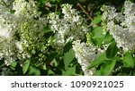 white lilac. white lilac...   Shutterstock . vector #1090921025