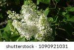 white lilac. white lilac...   Shutterstock . vector #1090921031