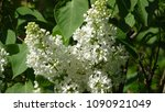 white lilac. white lilac...   Shutterstock . vector #1090921049