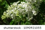 white lilac. white lilac...   Shutterstock . vector #1090921055