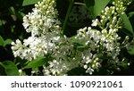 white lilac. white lilac...   Shutterstock . vector #1090921061
