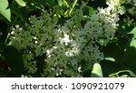 white lilac. white lilac...   Shutterstock . vector #1090921079