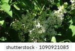 white lilac. white lilac...   Shutterstock . vector #1090921085