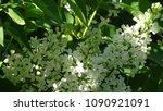 white lilac. white lilac...   Shutterstock . vector #1090921091