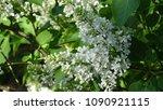 white lilac. white lilac...   Shutterstock . vector #1090921115