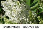 white lilac. white lilac...   Shutterstock . vector #1090921139