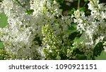 white lilac. white lilac...   Shutterstock . vector #1090921151