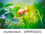 Beautiful Lovely Snail In Gras...
