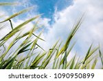 growing ears of wheat. field | Shutterstock . vector #1090950899