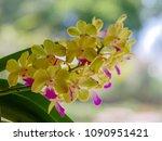 aerides houlettiana rchb ... | Shutterstock . vector #1090951421