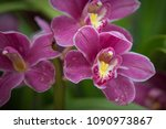 orchid flower in orchid garden... | Shutterstock . vector #1090973867