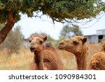 two dromedary camels in field... | Shutterstock . vector #1090984301