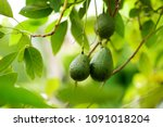 bunch of fresh avocados... | Shutterstock . vector #1091018204