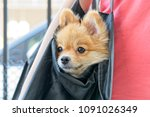 Stock photo cute puppy in bag close up pomeranian in selective focus of funny adorable puppy dog in bag going 1091026349