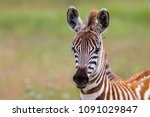 Stock photo young zebra in the ngorongoro crater national park in tanzania 1091029847
